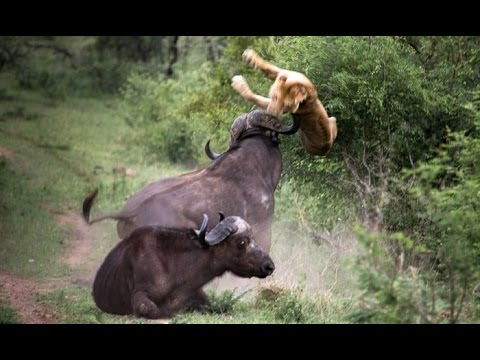 Top Lion Attack Fail - Compilation Fail of Lion - Funny Fail Animals